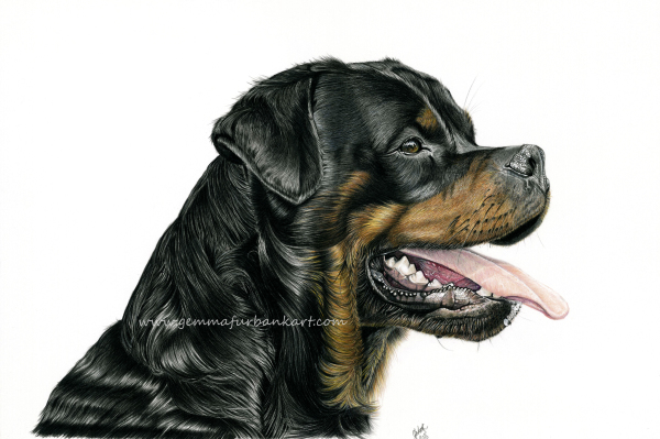 M26. Male Rottweiler. £160